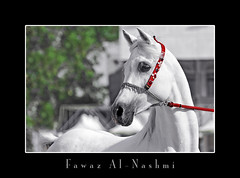 baitalarab   (Fawaz Al Nashmi) Tags: horse art animal photo head arab kuwait stallion fawaz       funzy           alnashmi  funzyclick baitalarab