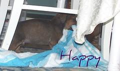Happy (muslovedogs) Tags: dogs rottweiler mastweiler zeusoffspring myladyoffspring
