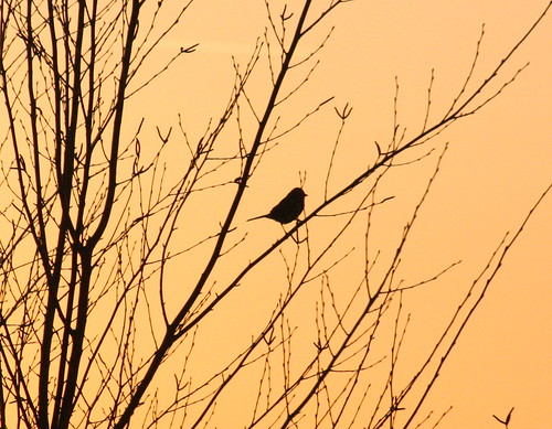 song sparrow silhouette