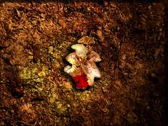 Vecchia foglia d'autunno (con sangue) (*Tom [luckytom] ) Tags: old red orange brown leaves yellow foglie tom blood dry foglia sangue stefano ctm leafe vecchie secche favcol luckytom asciutte