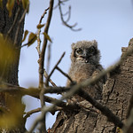 Great Horned Owlet thumbnail