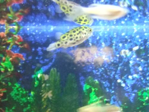 freshwater puffer fish. My Freshwater Puffer Fish