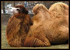 Bactrian Camel (lorainedicerbo) Tags: zoo michigan detroit camel endangered bactrian royaloak detroitzoo loraine endangeredspecies bactriancamel dicerbo itsazoooutthere lorainedicerbo