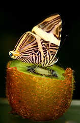 Enjoying a kiwi (kees straver (will be back online soon friends)) Tags: macro fruit butterfly kiwi artis keesstraver