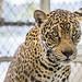 Jaguar Gamboa Wildlife Rescue pandemonio 2017 - 10
