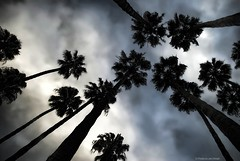 Among giants.... (Joe Hengel) Tags: palmtrees palmtree palm palmfronds tree trees california clouds ca cloudsorangecounty cloudy winter height tall giants among socal southerncalifornia sunset orangecounty oc outdoor goldenstate silhouette silhouettes sky dohenybeach statebeach dohenystatebeach