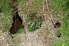 Grass Fern (Schizaea rupestris) & moss (Poytr) Tags: mccarrscreek kuringgaichasenationalpark sydneyrainforest arfp nswrfp arffern moss schizaea schizaearupestris schizaeaceae terreyhills waterfallplant waterfallfern sydneyferns