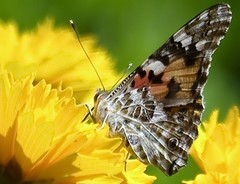 """7345- Zoom on this beautiful butterfly """"Belle dame"""" Vanessa cardui"""