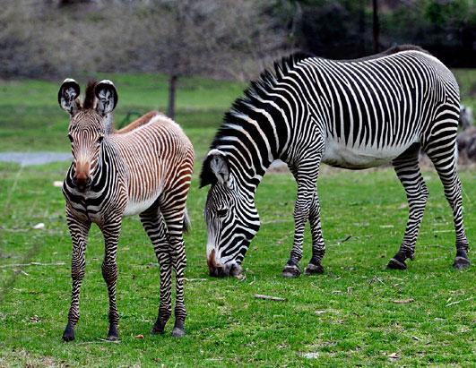 ht_baby_zebra_bronx_zoo_jp_ss_110503_ssh