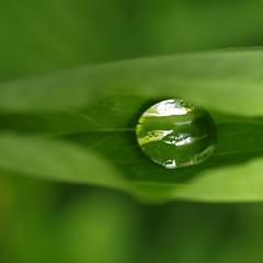 Dans un écrin de verdure ** (Titole) Tags: reflection green silver drop reflet goutte nervure friendlychallenges thechallengefactory titole nicolefaton