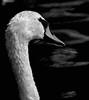 Swan, Keukenhof, The Netherlands