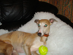 tim stares (Urbanimp) Tags: dog whippet greeneyes