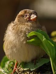 Otto il passerotto (Mr. Lelle) Tags: macro nature natura olympus uccello passerotto naturalmente lelle uccellino ar1 mywinners