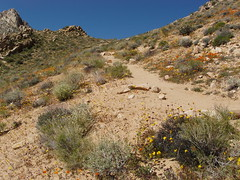 Wild Flowers Short Canyon (denes007) Tags: flowers desert nevada canyon short cierra