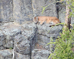 Cougar - Tower Falls, Yellowstone (Dave Stiles) Tags: wildlife yellowstonenationalpark yellowstone endangered cougar threatenedspecies stiles pumaconcolor towerfalls yellowstonewildlife naturewatcher