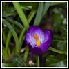 crocus (Cookie_lady1) Tags: orange green leaves yellow closeup garden back purple crocus letchworth growing naturesfinest ilovemypic theunforgettablepictures eyeofthephotographer showmeyourqualitypixels