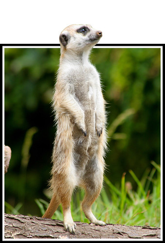 The meerkat knows the secrets to a passionate life