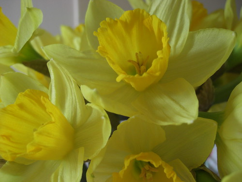 The Victorians thought daffodils acted as a symbol of regard.