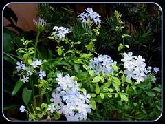 Plumbago auriculata 'Imperial Blue' (Blue/Cape Plumbago) in our tropical garden