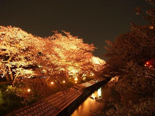 高田川(夜桜)