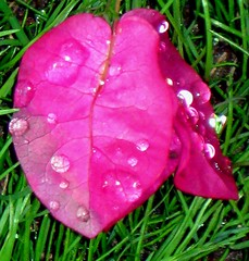 Pink teardrops from Heaven (moonjazz) Tags: pink plant leaf nature lawn single drop water vivid viens flower bonita linda pretty solor verde rose rosa roze corderosa pure uno solo greass green contrast color colores