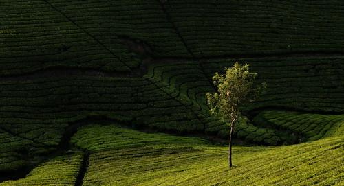 Tree, Tea
