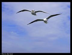 Seabird (Ab.Sarraf) Tags: blue sky turkey istanbul seabird
