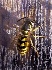 Yellow jacket on wood (wolfpix) Tags: abejas insectos bug insect bees insects bugs bee hornet api yellowjacket abeilles insectes insetti  insetos abelhas bienen wespe avispa hymenoptera geting gupe   vespinae  ampiainen insekte canonpowershots3is  vespoidea hveps tawon mywinners   amazingshots sre putakti