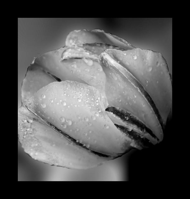 IMG_2062 red tulip