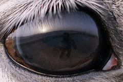 in your eye (aZ-Saudi) Tags: sky horse eye interesting photographers arabic cameras saudi arabia eyelash photographed عين خيال ksa alhasa عيون حصان فرس الخيل arabin ِarabs