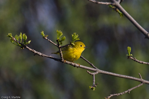 Yellow Warbler (1 of 1)-2