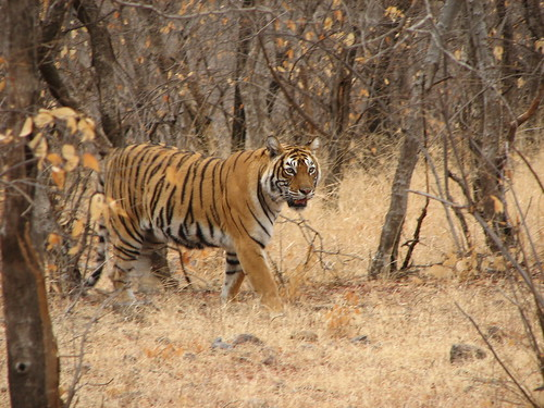 Tiger at Ranthambore in India