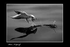 006 (m_yousefi) Tags: sea bird animal canon30d