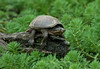 Tuckered (martytdx) Tags: atlanta topv111 ga turtle reptile april explore7 mudturtle april2008 exploretopten stripedmudturtle kinosternonbaurii lifelistreptile