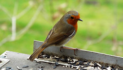 Red Robin (Gilly B2011) Tags: