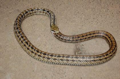 Hoop Snake