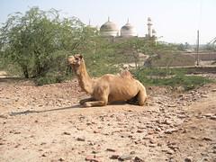 Derawar: camel and mosque (John Steedman) Tags: pakistan camel punjab camels   derawarfort derawar