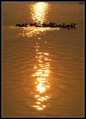 Hue of Homeland [..Demra, Bangladesh..] (Catch the dream) Tags: sunset color reflection water glitter gold golden duck glow country bongo wave row precious hue bengal bangladesh bangla homeland bengali bangladeshi bangali catchthedream gettyimagesbangladeshq2