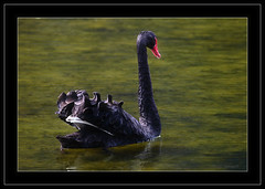 Black Swan-4761 (Barbara J H) Tags: nature fauna swan wildlife australia qld blackswan cygnusatratus buderim australianbirds australianwildlife naturesfinest australiannativebird birdsofaustralia australianfauna specnature animaladdiction birdphotos wildlifeofaustralia barbarajh northbuderimlake faunaofaustralia