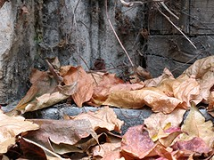 al szll (Tlgyesi Kata) Tags: autumn leaf budapest foliage oldhouse botanicalgarden virginiacreeper parthenocissus fvszkert botanikuskert vadszl withcanonpowershota620