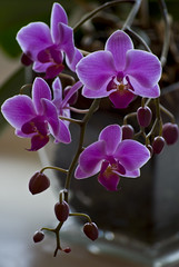 Phalaenopsis (Ilkka Hamalainen) Tags: light plant orchid flower nature beauty closeup flora nikon purple bright blossom fresh phalaenopsis orchidaceae bloom kasvi inflorescence kukka violetti nuppu kaunis orkidea kukinto perhoskmmekk d40x purppura