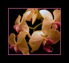 Orchids (MAGICHAT STUDIOS) Tags: flowers flower colors orchids excellenceinfloralphotography flickrsmileys abigfave abigfav diamondclassphotographer flickrdiamond macrophotonolimits excapture botanicalm