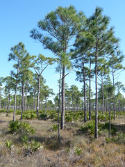 RCW habitat (Jeff's Digiscoped Wildlife pics) Tags: leica florida pinewoods clux2