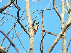 Great Spotted Woodpecker in Russia Dock Woodland
