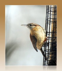 Bird - Carolina Wren - Thryothorus ludovicianus (blmiers2) Tags: newyork bird nature beautiful birds geotagged nikon wildlife views wren wrens birdwatching avian smallbirds carolinawren thryothorusludovicianus passeriformes backyardbirds troglodytidae birdphoto carolinawrens ttcu d40x wrenbirds carolinawrenbird carolinawrenpicture thecarolinawren blm18 blmiers2