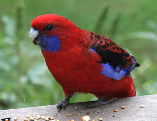 Mountain Rosella