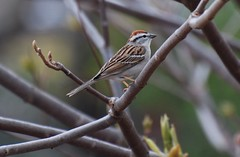 Chipping Sparrow - by D.Fletcher