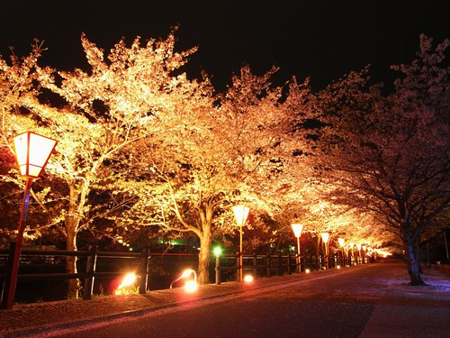 高田川(夜桜)-01