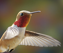 Rufous Hummingbird - All fired up to impress the ladies! (Rick Leche) Tags: closeup flight birdwatcher rufoushummingbird selasphorusrufus naturesfinest gorget specanimal