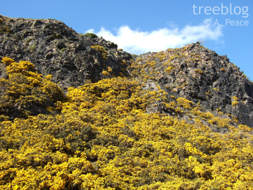 yellow sea of gorse